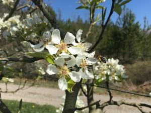 poiriers fleurs abeilles 2016